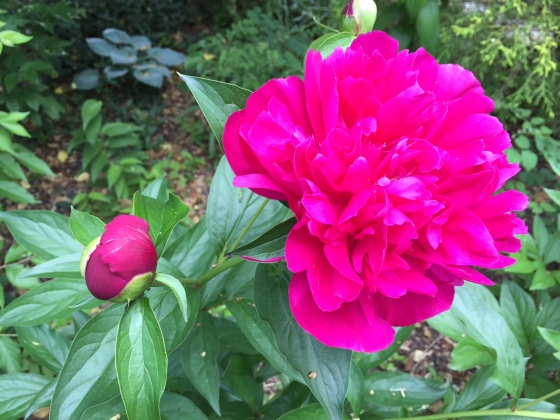 Peonies represent feminine beauty and  nobility. In full bloom, they represent peace.